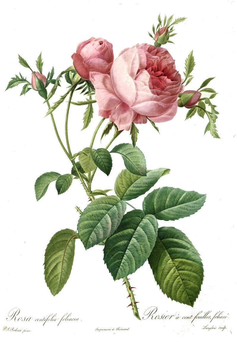 Exposition : Le pouvoir des fleurs, Pierre-Joseph Redouté. Musée de la vie romantique (Paris) Redout10