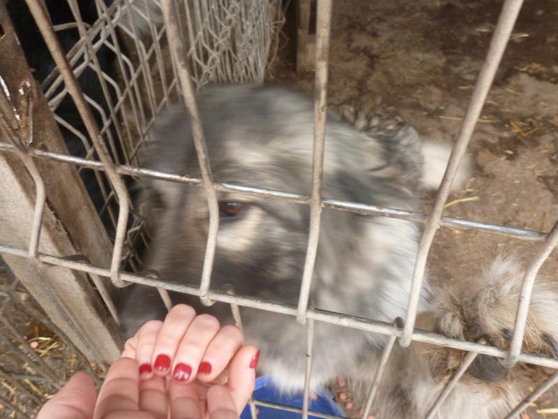 SARRA, croisée berger des Carpates née en 2014 - Parrainée par Dankesori -SC-R-SOS- P1010037