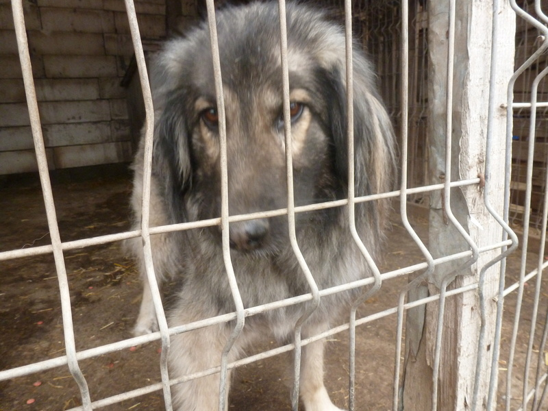 SARRA, croisée berger des Carpates née en 2014 - Parrainée par Dankesori -SC-R-SOS- P1010163