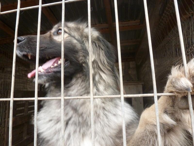 SARRA, croisée berger des Carpates née en 2014 - Parrainée par Dankesori -SC-R-SOS- P1010164