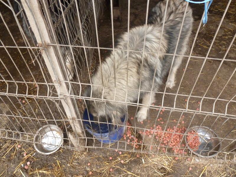 SARRA, croisée berger des Carpates née en 2014 - Parrainée par Dankesori -SC-R-SOS- P1010165