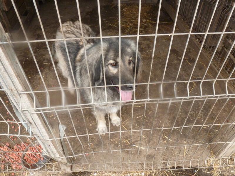 SARRA, croisée berger des Carpates née en 2014 - Parrainée par Dankesori -SC-R-SOS- P1010167