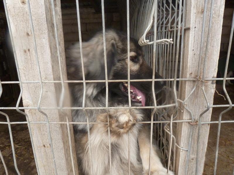 SARRA, croisée berger des Carpates née en 2014 - Parrainée par Dankesori -SC-R-SOS- P1010169