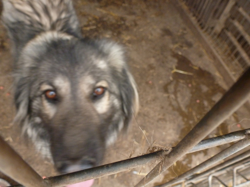 SARRA, croisée berger des Carpates née en 2014 - Parrainée par Dankesori -SC-R-SOS- P1010170