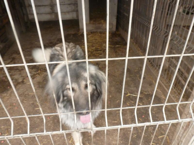 SARRA, croisée berger des Carpates née en 2014 - Parrainée par Dankesori -SC-R-SOS- P1010171