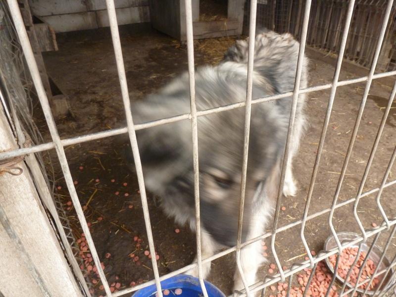 SARRA, croisée berger des Carpates née en 2014 - Parrainée par Dankesori -SC-R-SOS- P1010172