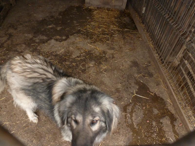 SARRA, croisée berger des Carpates née en 2014 - Parrainée par Dankesori -SC-R-SOS- P1010173