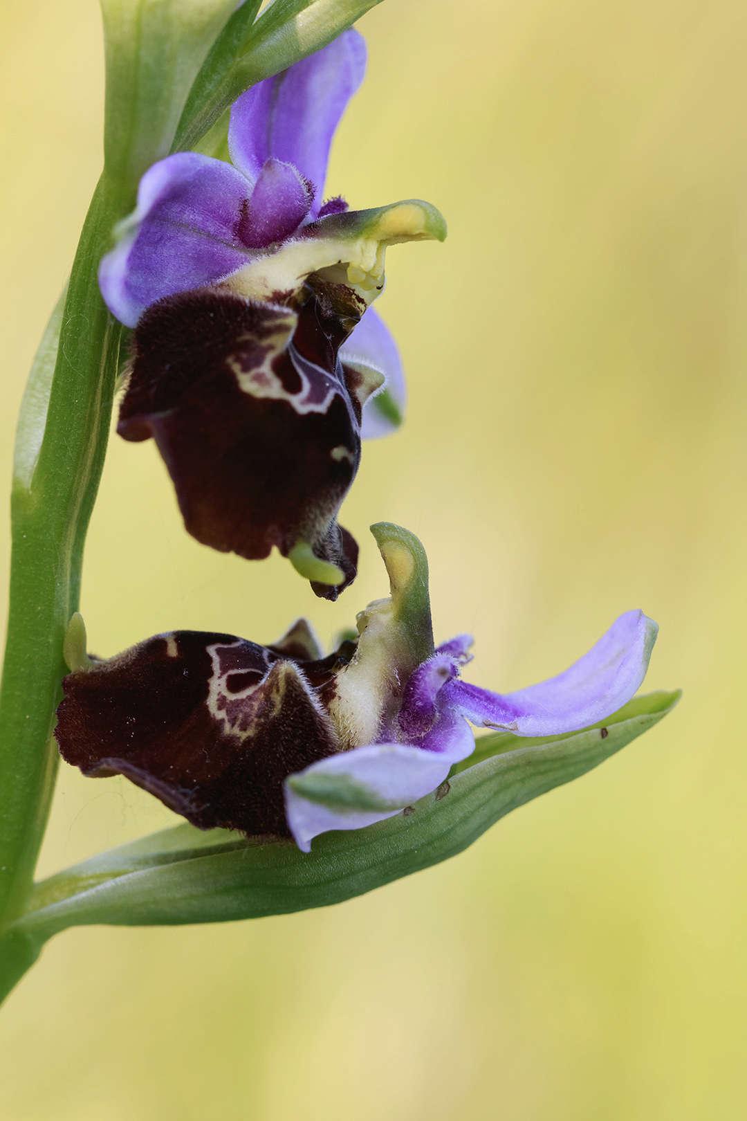 Paroles d'orchidée Ophrys11