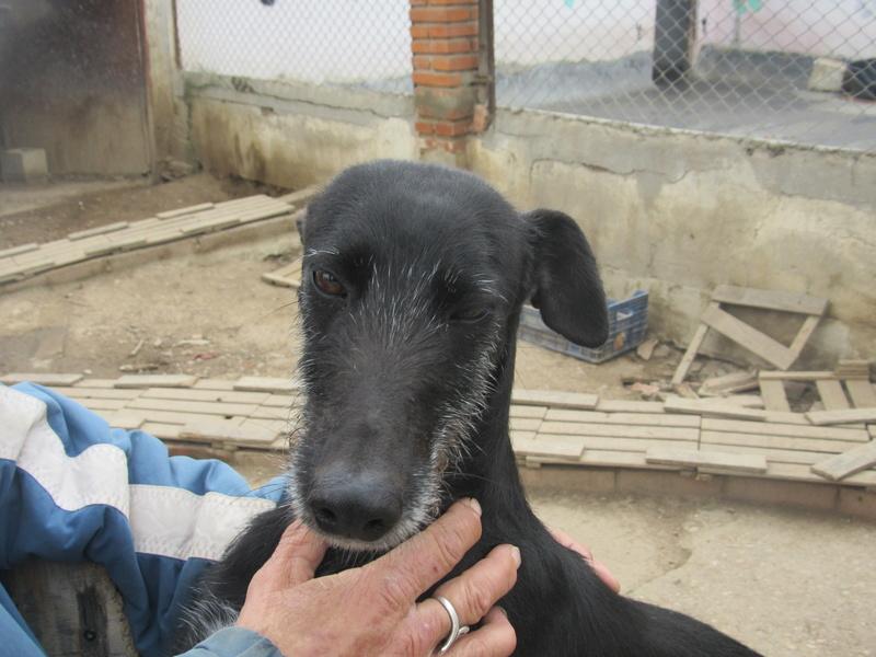 Gitana, galga barbuda noire, 5 ans Adoptée  Gitana10