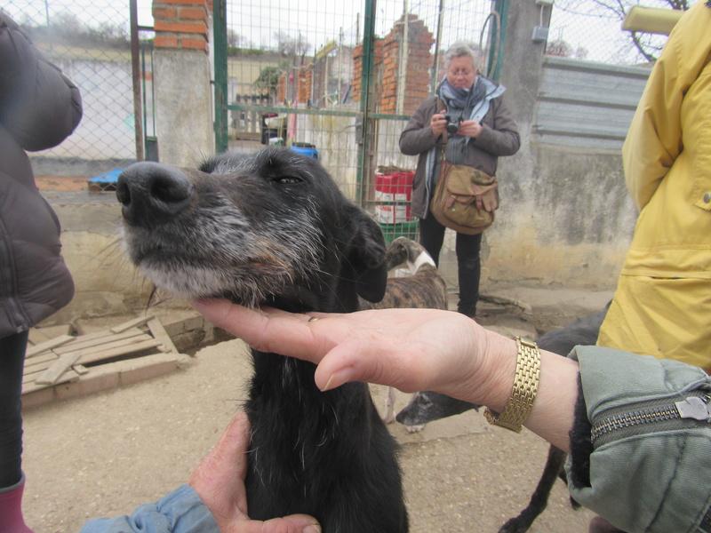 Gitana, galga barbuda noire, 5 ans Adoptée  Gitana13