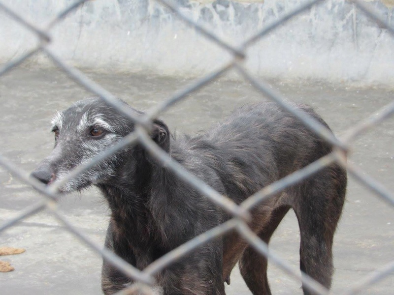 Gitana, galga barbuda noire, 5 ans Adoptée  Gitana14