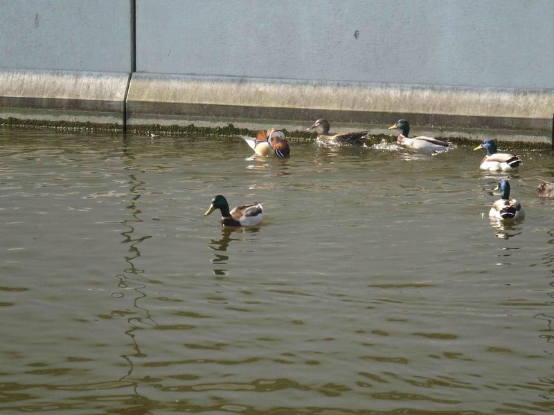 Canards - nouvelles espèces Dsc09410