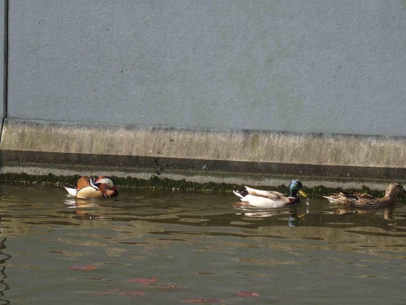 Canards - nouvelles espèces Dsc09411