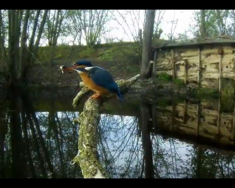 Webcam Martin pêcheur - vivara Photo_18