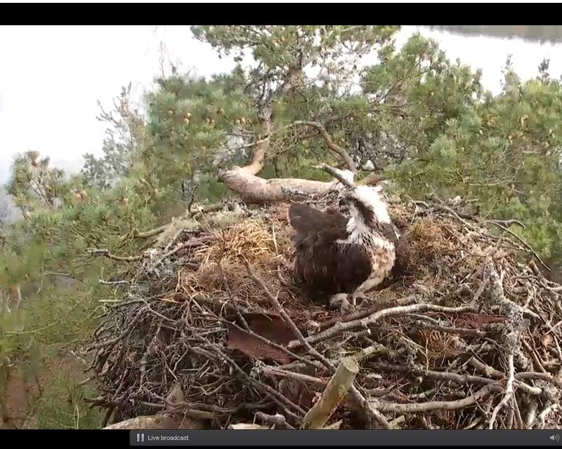Webcam Balbuzard pêcheur - Ecosse Sans_t12