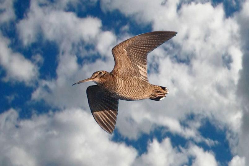 Influencia de las zonas de reserva de caza sobre la poblaciones invernantes de becada Becada11