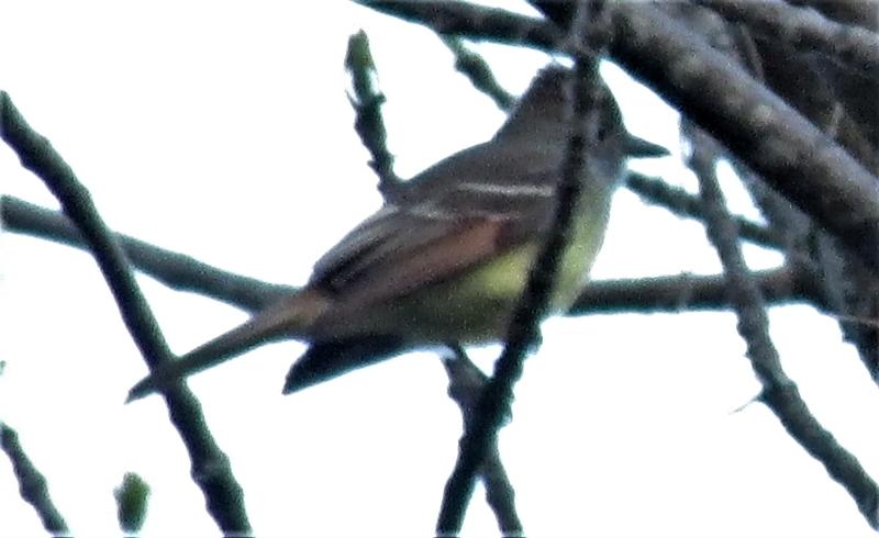 Petit oiseau qui cri fort! 05_23_10