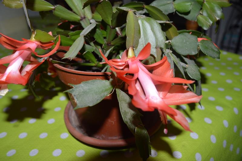 cactus de Noel 00112