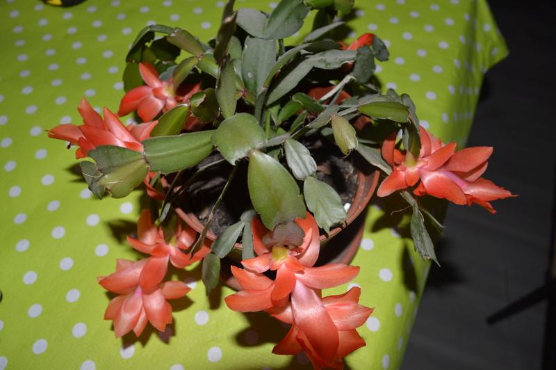 cactus de Noel 00210