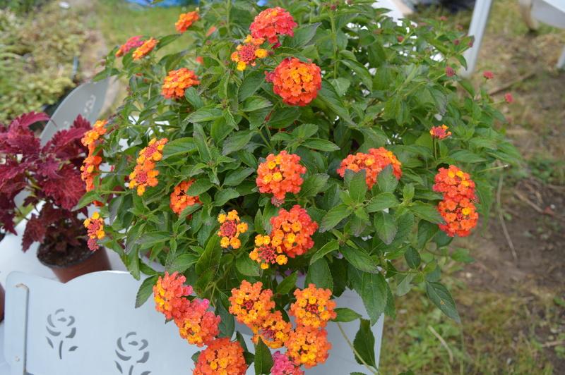diverses fleurs - Page 2 01310