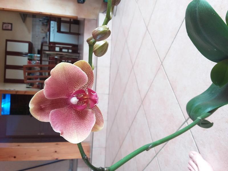Phalaenopsis hybride 14945812