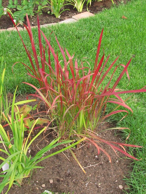 Imperata cylindrica 'Red Baron'  Img_1810