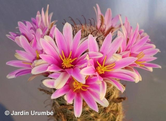I need the name of this Mammillaria Mammil11