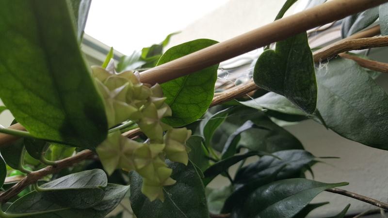 Danumensis ändert scheinbar plötzlich ihre Blüten Farbe?  20170511