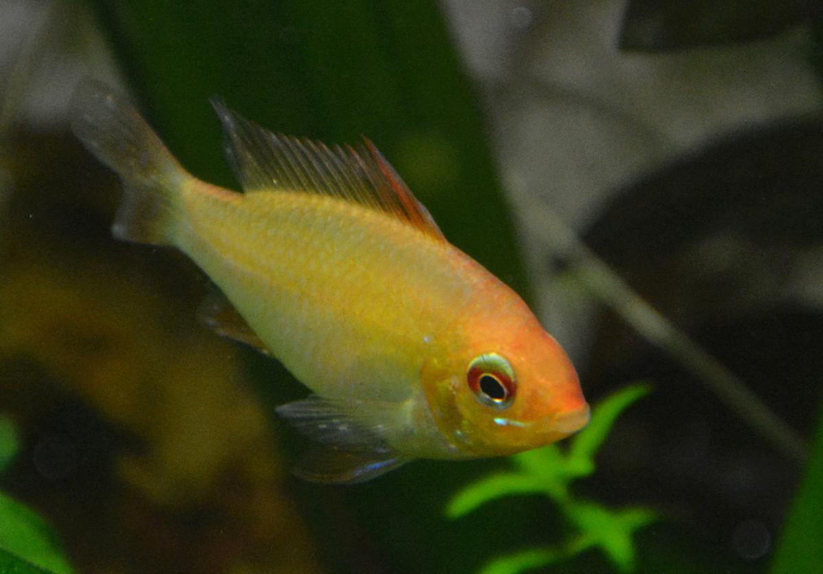 Apisto Ramirezi Gold - Mâle ou femelle ? 0610