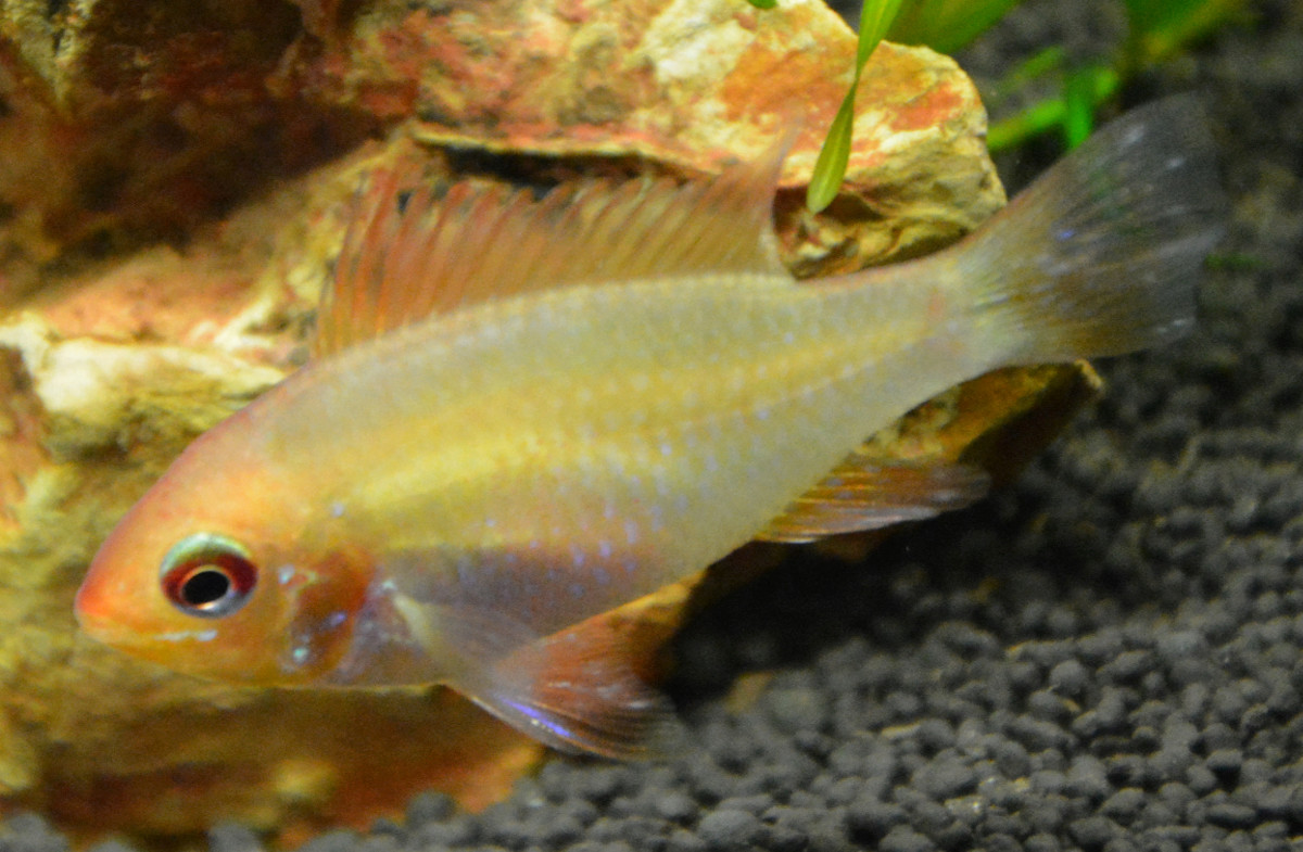 Apisto Ramirezi Gold - Mâle ou femelle ? 0710