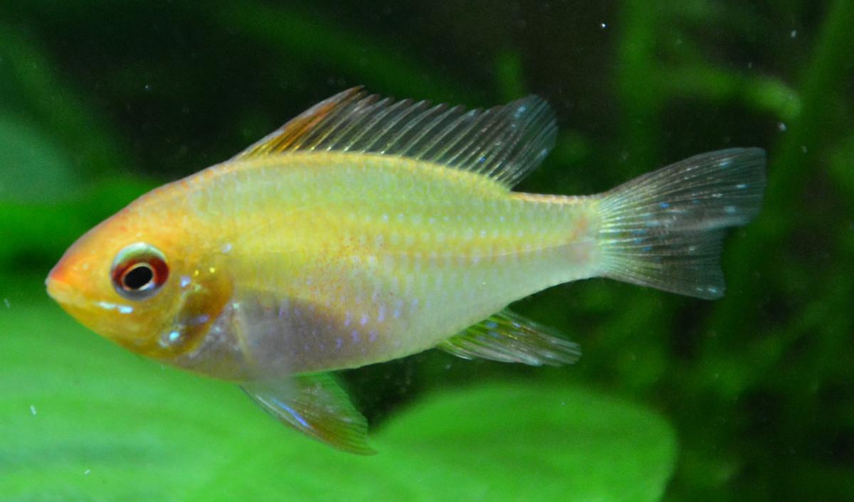 Apisto Ramirezi Gold - Mâle ou femelle ? 0810