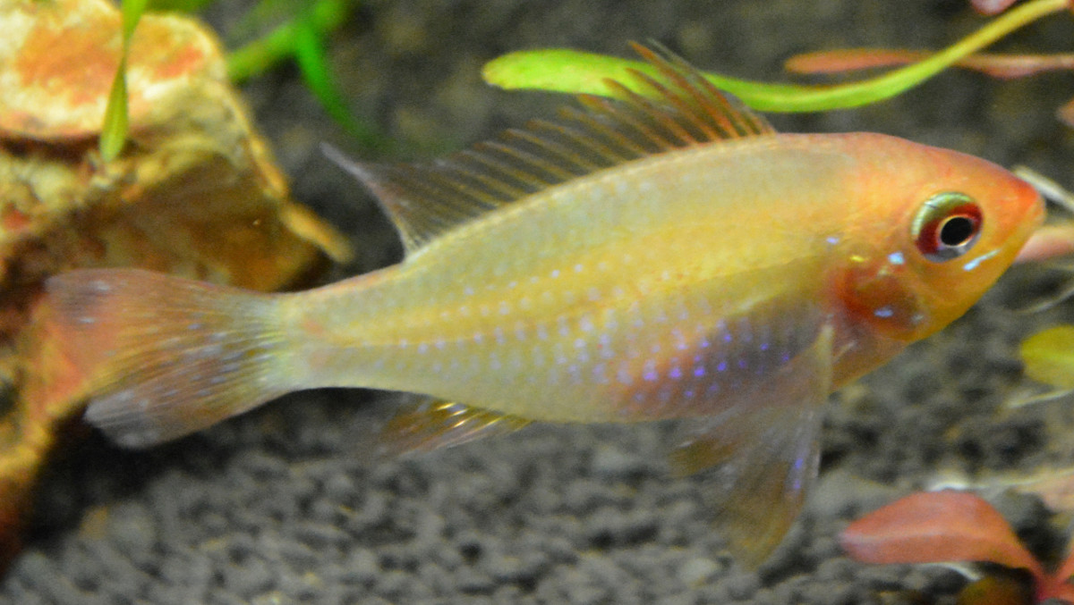 Apisto Ramirezi Gold - Mâle ou femelle ? 0910