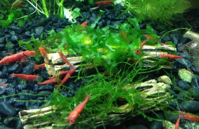 Petit aquarium 19 l pour crevettes Bois-d12