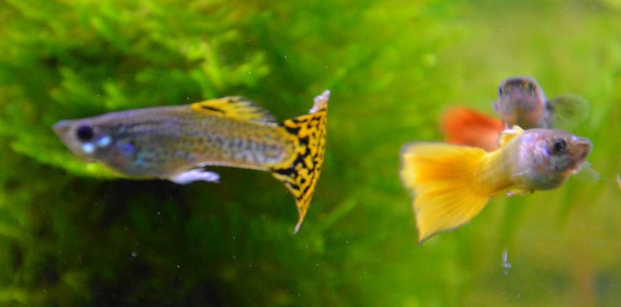 Le Christiany, l'aquarium pour les Guppys - Page 2 Guppy-11
