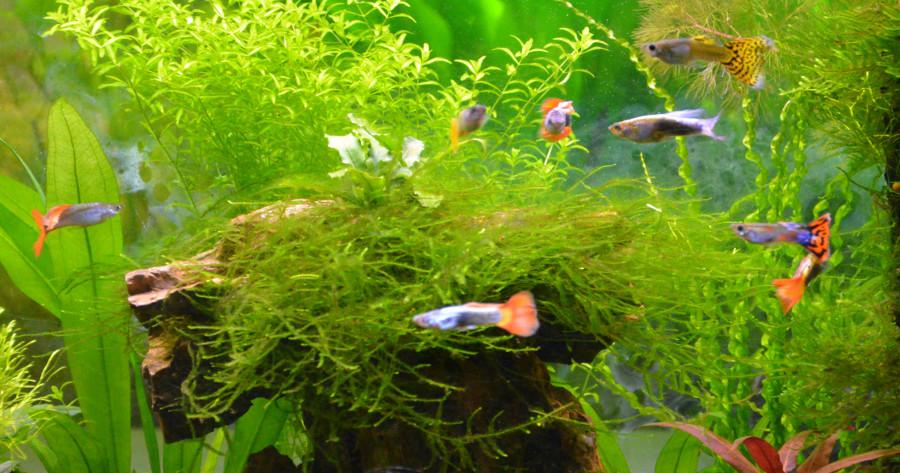 Le Christiany, l'aquarium pour les Guppys - Page 2 Guppy-12