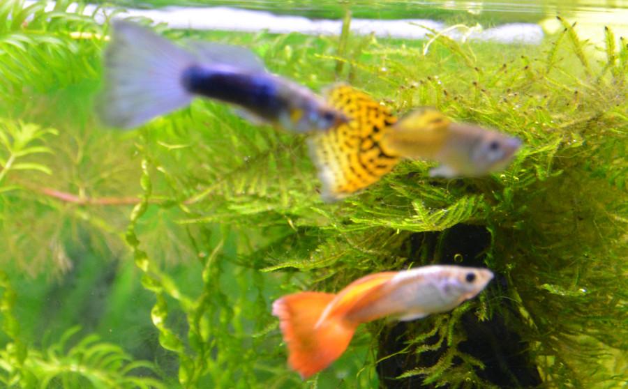 Le Christiany, l'aquarium pour les Guppys - Page 2 Guppy-14