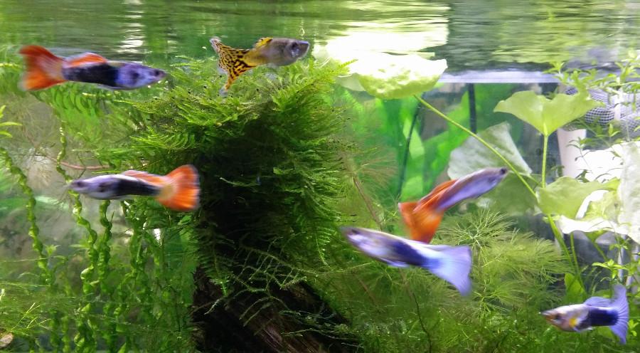 Le Christiany, l'aquarium pour les Guppys - Page 2 Guppy_10