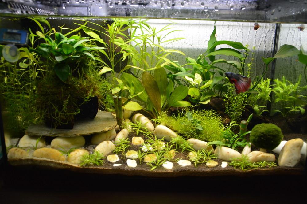 Futur aquarium pour Betta - Page 2 Ulysse12