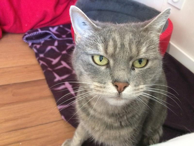 Peggy - PEGGY - Femelle européenne - tigrée grise - née fin 2012 Img_4713