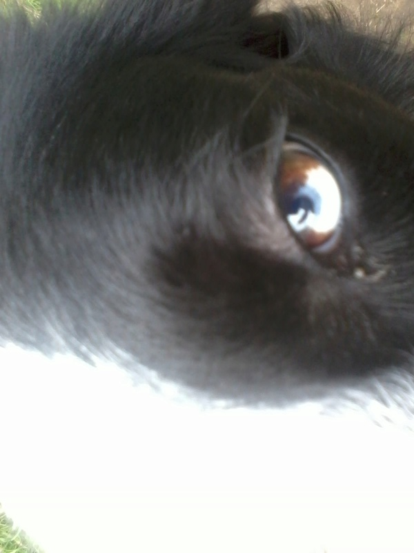 noir aux yeux bleu =merle fantome ? - Page 2 2017-053