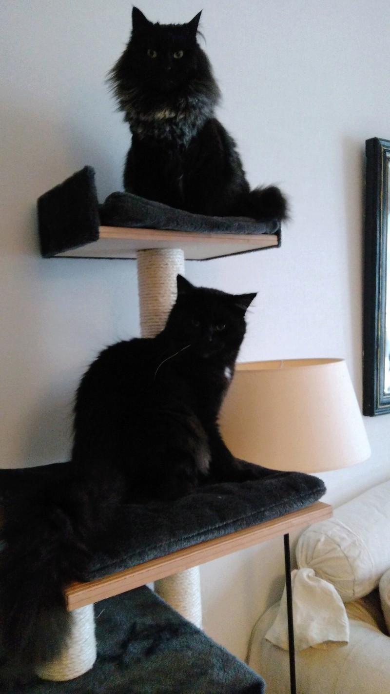 martin - MARTIN,chaton mâle noir,né le 08/06/16 Bbjule12