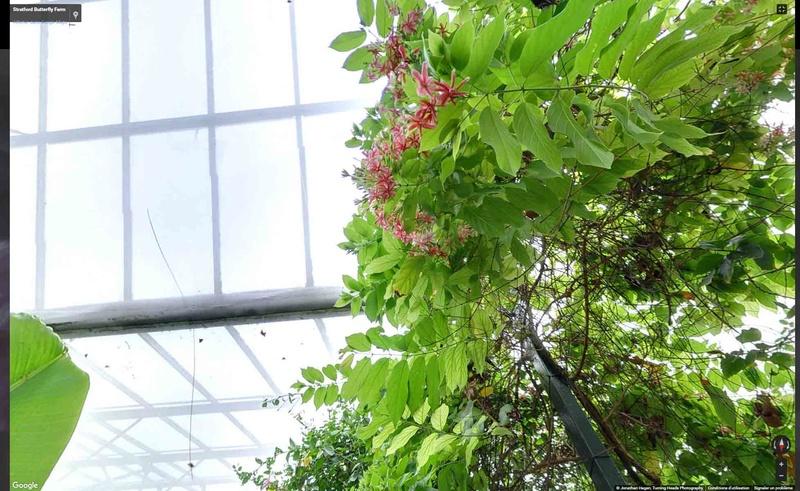 bauhinia pour morpho Fleur10
