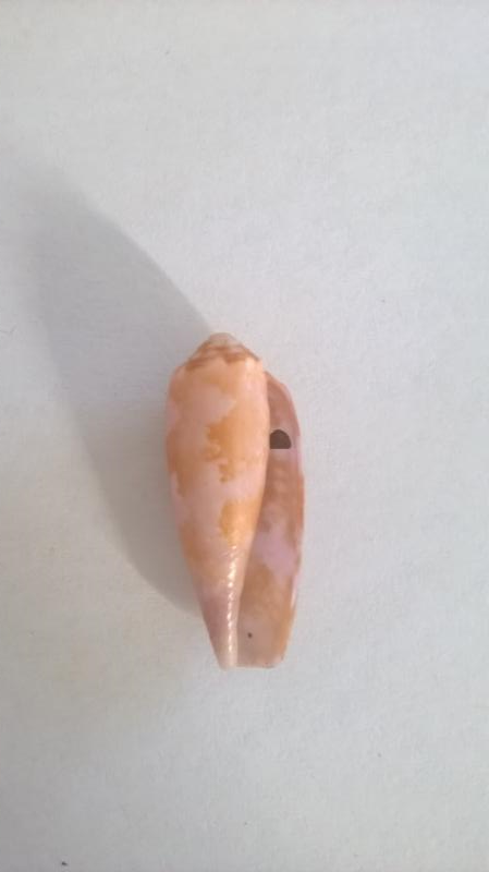 Conus tulipa juvénile (Linnaeus, 1758)  A10