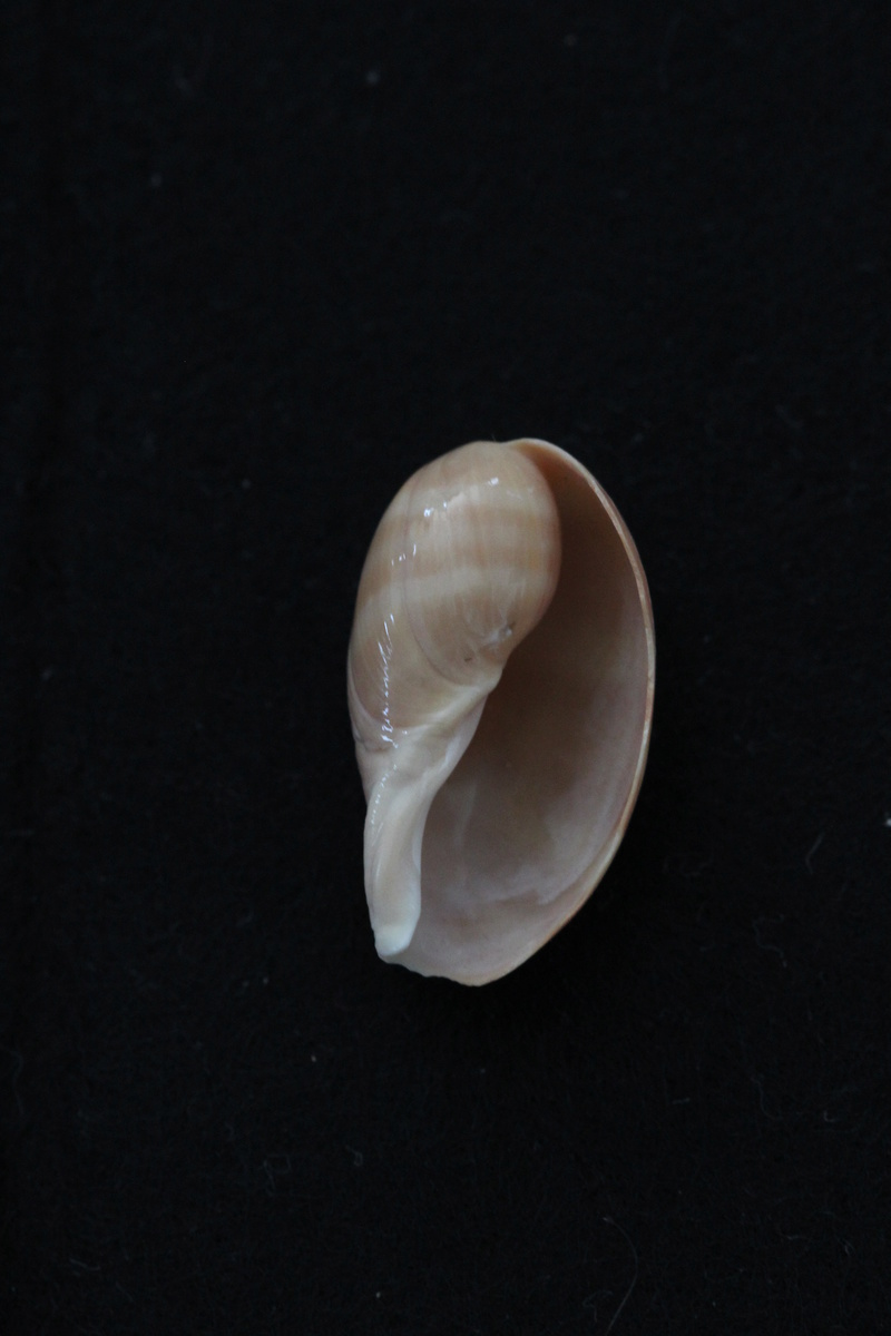 Lyncina carneola juvénile Img_6818