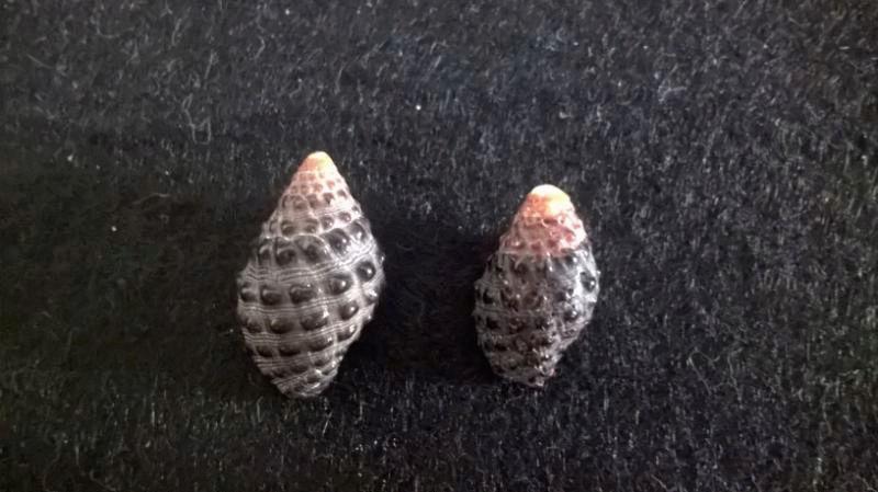 Tenguella granulata (Duclos, 1832)  K10