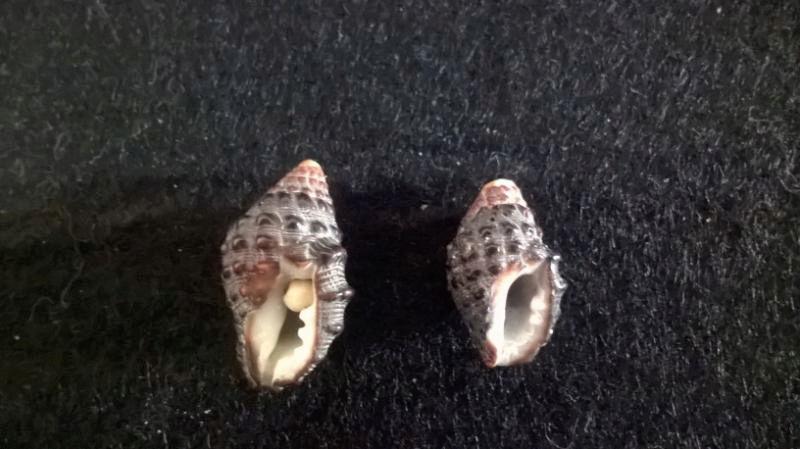 Tenguella granulata (Duclos, 1832)  L10