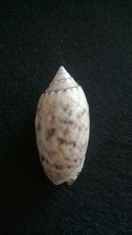 Oliva annulata Gmelin, 1791  Sans-t15
