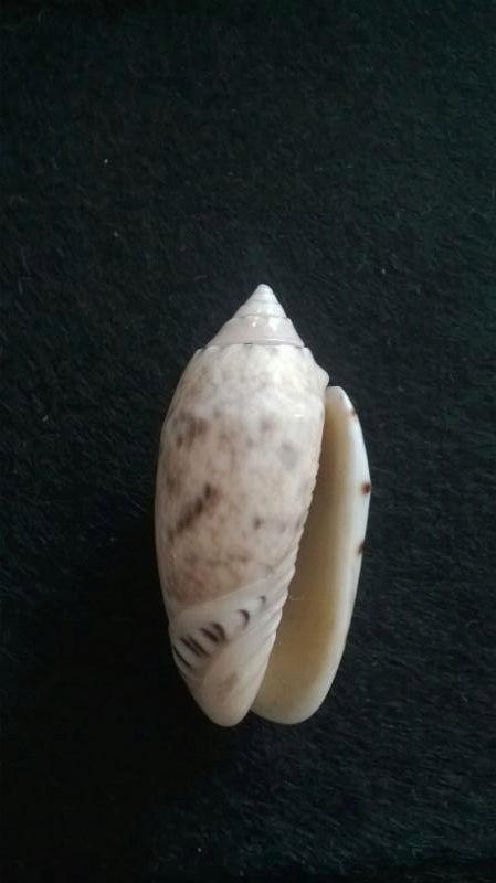 Oliva annulata Gmelin, 1791  Sans-t16