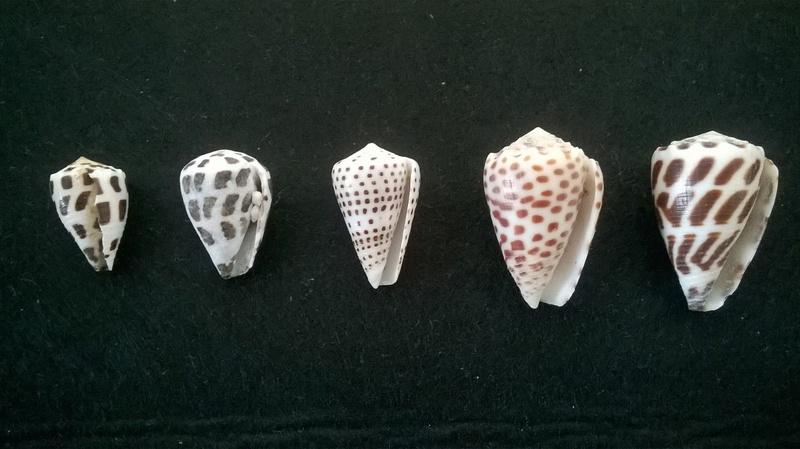 Divers Conus = 3 ebraeus, 1 eburneus et 1 pulicarius Wp_20120
