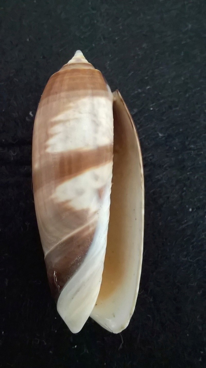 oliva miniacea juvenile Wp_20133